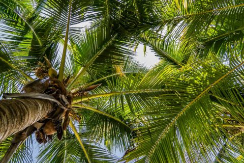 View looking up at palm trees overhead